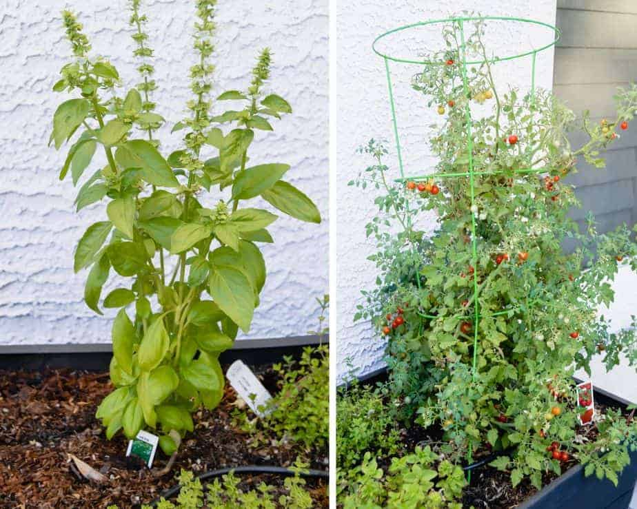 basil and tomatoes growing