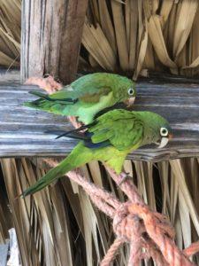 2 green parrots