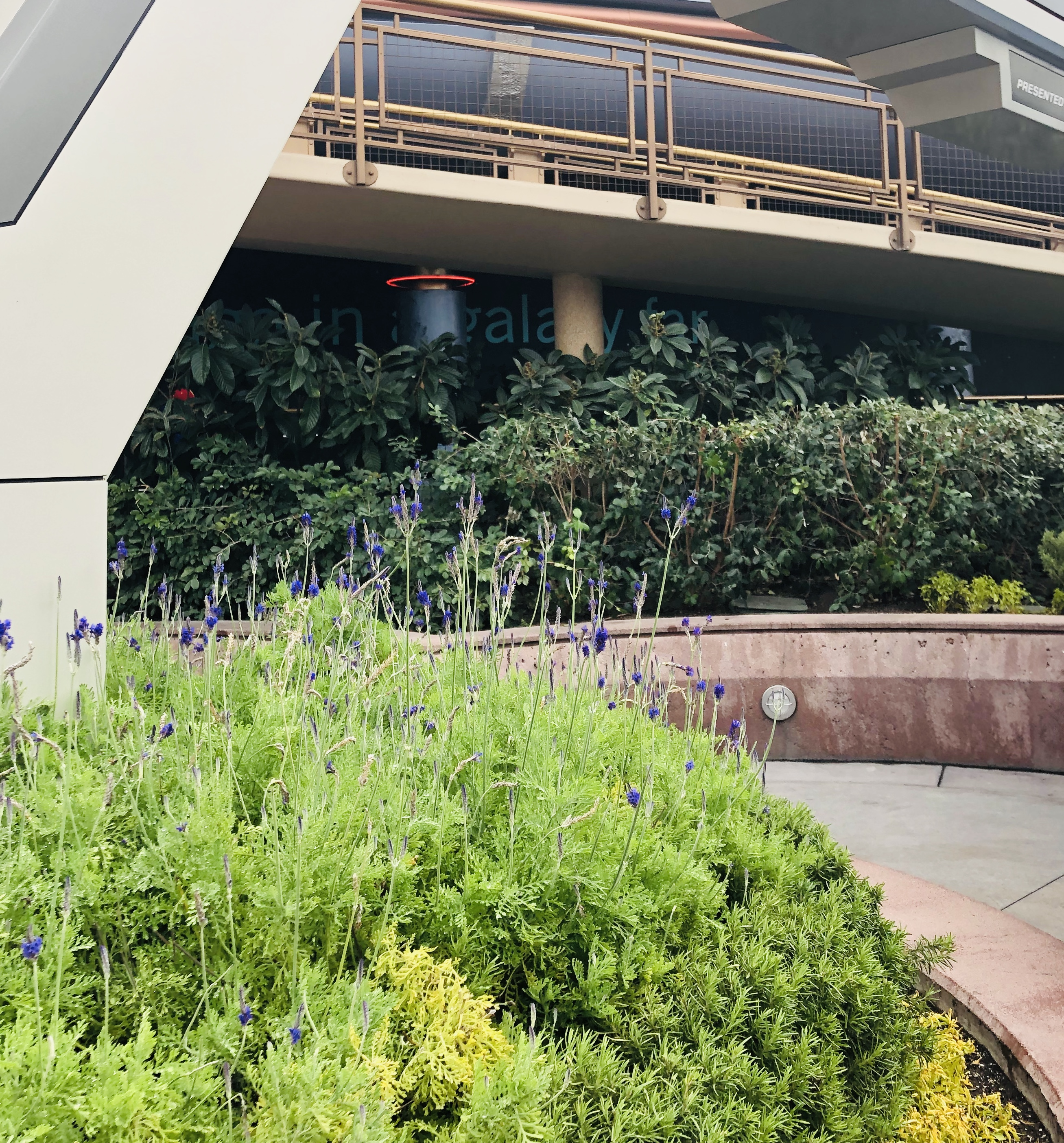 lavender plants in Tomorrowland